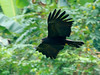 Black Eagle (Ictinaetus malaiensis) by David Cook Wildlife Photography