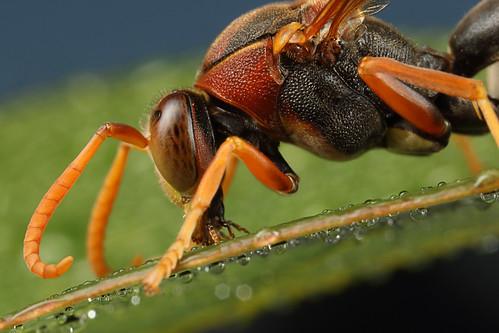 Paper Wasp drinking dew off leaf