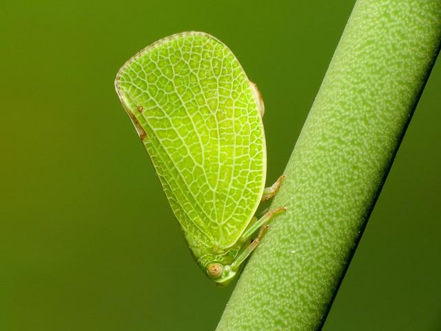 Acanaloniid Planthopper