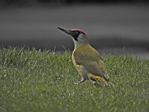 Green woodpecker (F) | by pete. #hwcp