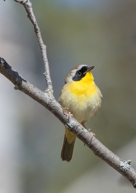 Paruline Masquée  -  Commom Yellowthroat