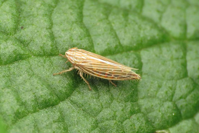 Mocydia crocea