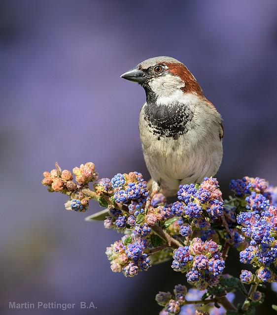 House Sparrow-5430