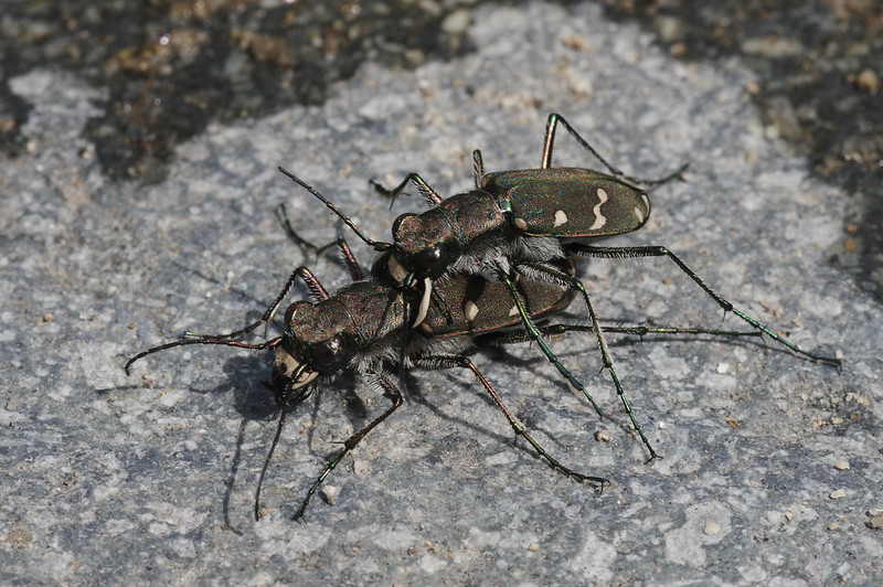 Mating of Cicindela gemmata aino