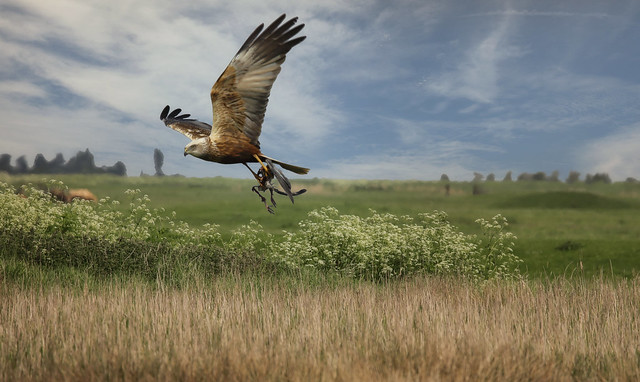 Marsh Harrier with Remains