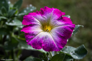 Petunia, from the back garden | by Gajan Perampalam