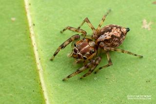 Jumping spider (Parabathippus sp.) - DSC_2985