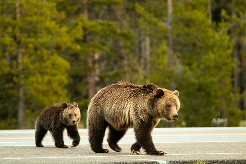 Grizzly Sow & Cub Crossing Highway | by GrandTetonNPS