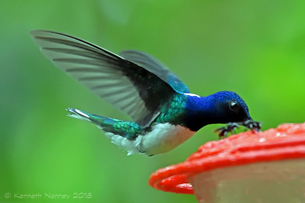 WHITE-NECKED JACOBIN 12