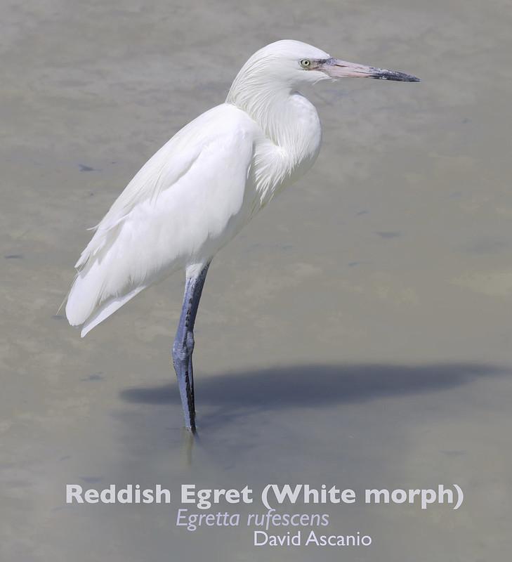 Reddish Egret, Egretta rufescens_199A2975