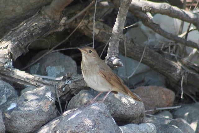 Thrush Nightingale (Luscinia luscinia), Maladia Chapel, Lesvos, Greece. 6th May 2006.