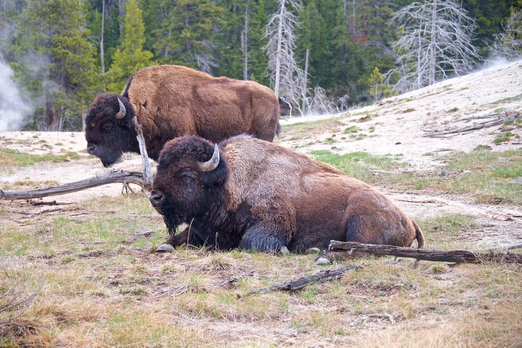 Bison Buffalo Near Old Faithful Yellowstone National Pa