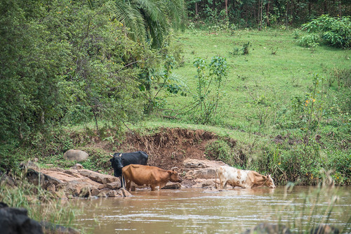 waterresources animalbasedfoods cattle foodavailability foodsecurity forestedwatersheds forests livestockindustry river trees tropicalforests watershedmanagement watershedprotection kisumucounty kenya ke