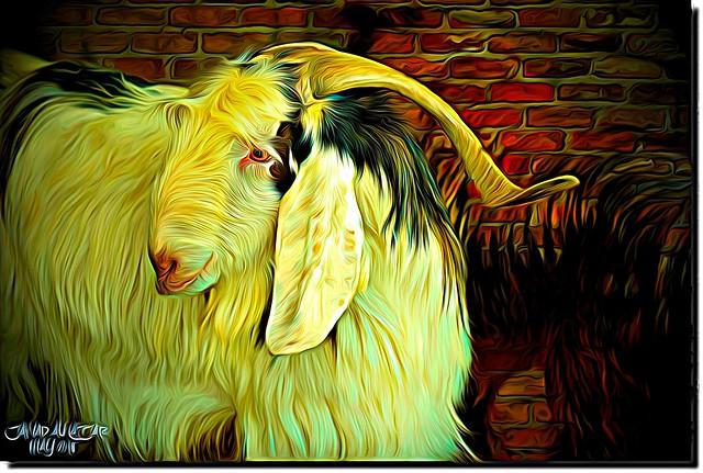 Male Goat.