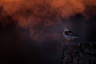 white-wagtail | by kuwait birds watching لتوثيق الطيور (M