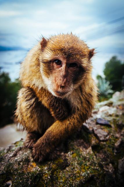 Barbary Macaque @ Gibraltar