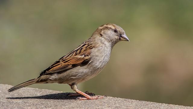 House sparrow female (explored 05/11/2018)