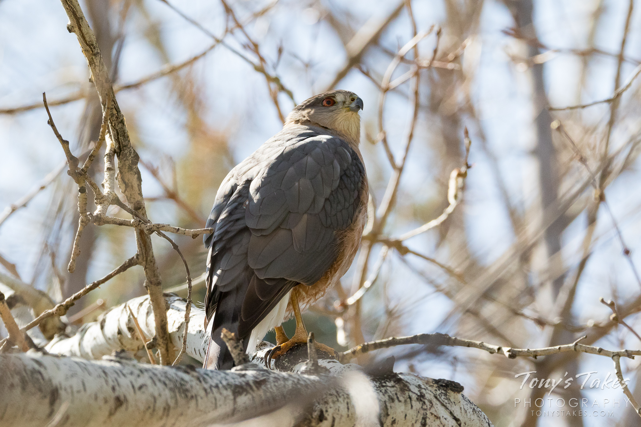 A male Cooper's Hawk keeps watch near its nest in Thornton, Colorado. (© Tony's Takes)