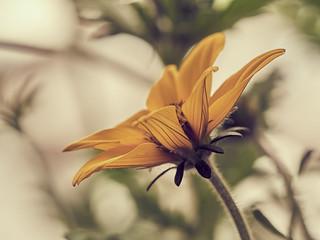 Nür eine Blüte