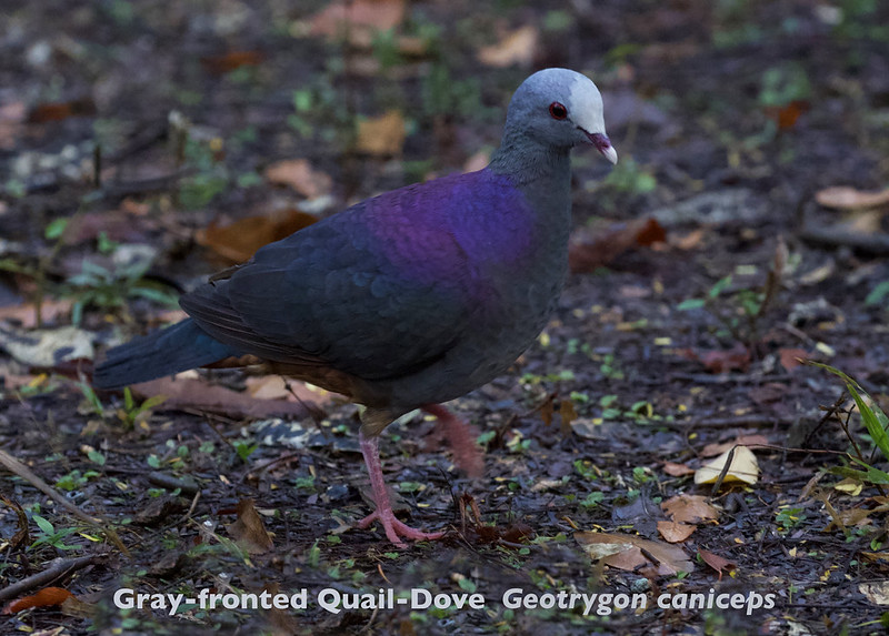 Gray-fronted Quail-Dove, Geotrygon caniceps_ 199A4732