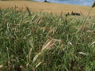 Wheat crops at the conservation agriculture site in El Krib, Siliana, Tunisia | by ICARDA - Science for Resilient Livelihoods in Dry
