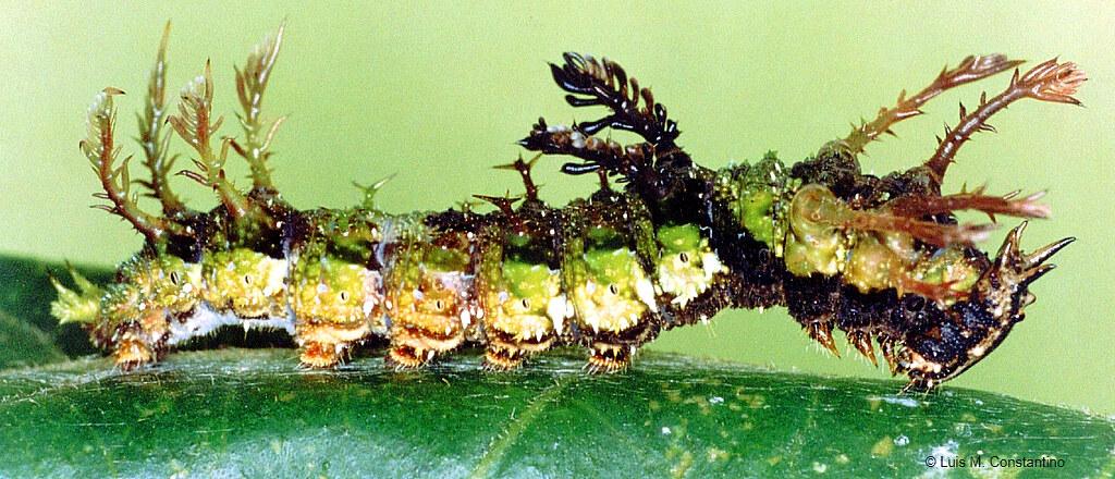Green moss-mimicking caterpillar Adelpha serpa celerio (Lepidoptera: Nymphalidae)