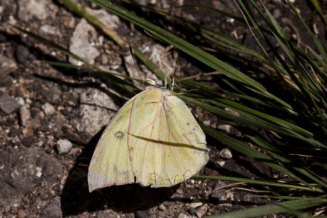 Zerene cesonia (female) likely