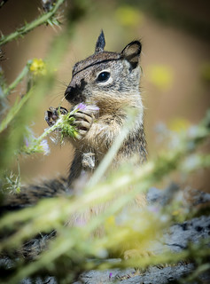 Juvenile California Ground Squirrels (Otospermophilus beecheyi) | by Wade Tregaskis