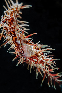 Ornate ghost pipefish belly | by Luko GR