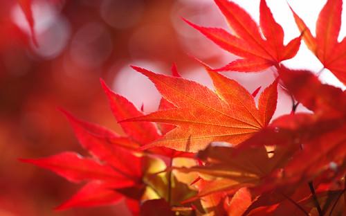 pentax k3 vbd hdpentaxda55300mmf4563edplmwrre ct connecticut leaves newengland red orange norwaymaple 2018 spring2018 bokeh handheld manualexposure foliage
