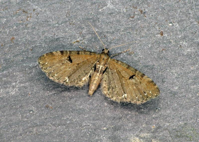 70.182 Currant Pug - Eupithecia assimilata