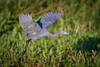 Little Blue Heron with breeding plummage in flight at Harn's Marsh, Fort Myers, Florida by diana_robinson