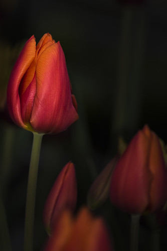 tulip flower charade red