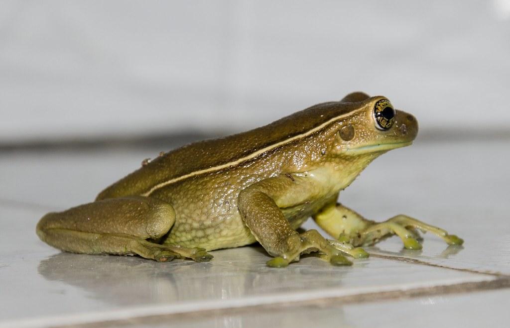 Trachycephalus mesophaeus - Milk Frog / Perereca-Leiteira (Hensel, 1867)