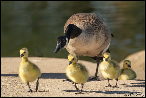 18-4220_momma_goose_&_gooslings | by michaelsorsky