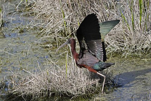 Glossy Ibis | by Chris B@rlow