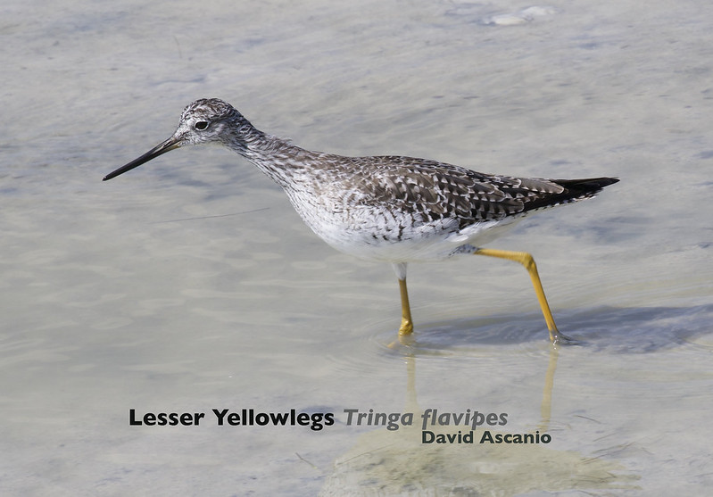 Lesser Yellowlegs, Tringa flavipes_199A2997