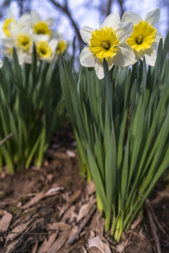 daffodils easter flowers flowersplants landscape princeton spring blossom green woods yellow april april1 2018 a7rii angle bokeh batis beautiful blossoming composition closeup dof depthoffield divinebeauty fullframe frame flower golden goldenhour goldenrectangle geometry holiday childhood illuminated leadinglines light leading mirrorless nature nj newjersey peaceful pattern prime petals pov poetic pointofview plants quiet tranquil repetition sony sonya7rii season viewpoint vivid wormseyeview zeissbatis zeiss zeissbatis25mm wideangle wide 25mm
