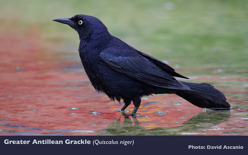 Greater Antillean Grackle, Quiscalus niger_Ascanio_199A0808
