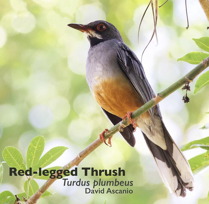 Red-legged Thrush, Turdus plumbeus_199A2019