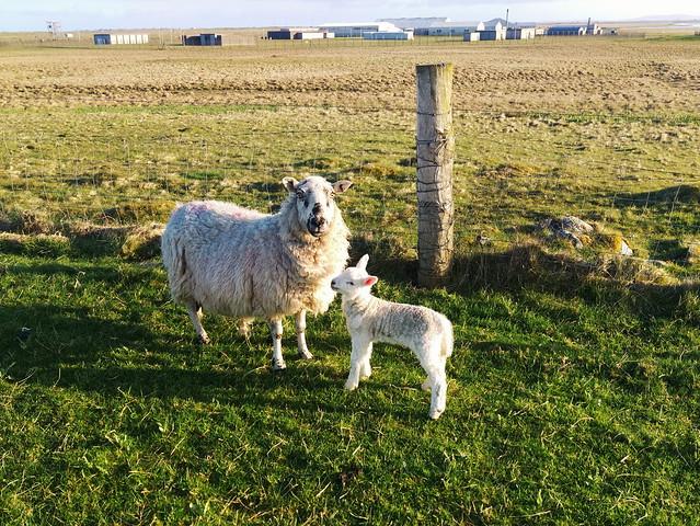 Late new lamb