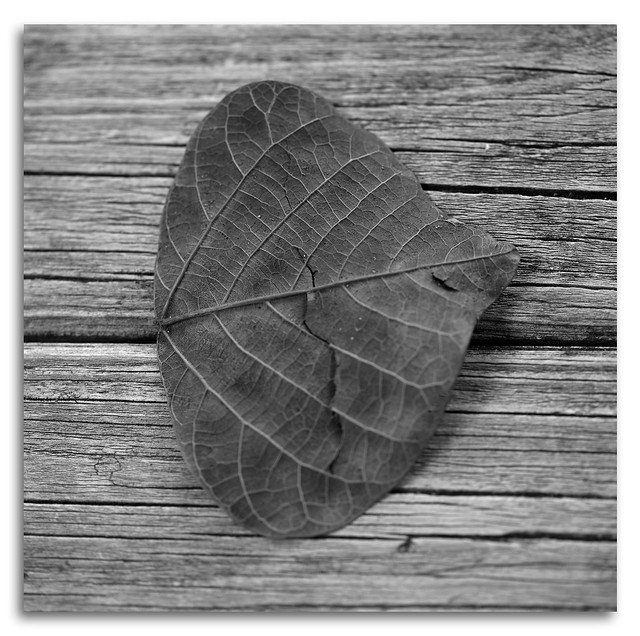 Black & White Macro of a dead Coral Tree Leaf