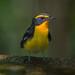 キビタキ(Narcissus Flycatcher)