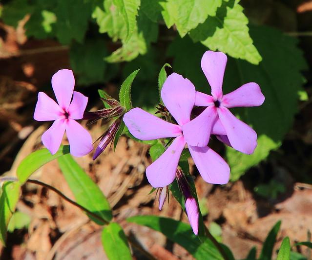 Wild Phlox - Queen Wilhelmina State Park, Southwest Arkansas