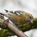 Víxlnefur - White winged Crossbill - Loxia leucoptera  by raudkollur