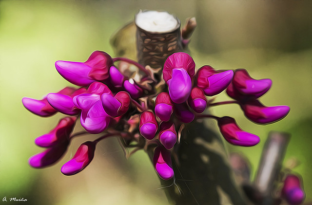 Buds of the Tree of Love (Cercis Siliquastrum). Brotes del Arbol del Amor (Cercis siliquastrum)