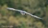 Peregrine Falcon by Ponty Birder