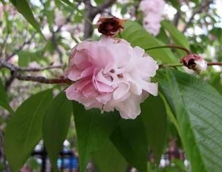 二度櫻 Cerasus jamasakura Heteroflora  [日本大阪造幣局  Japan Mint, Osaka]