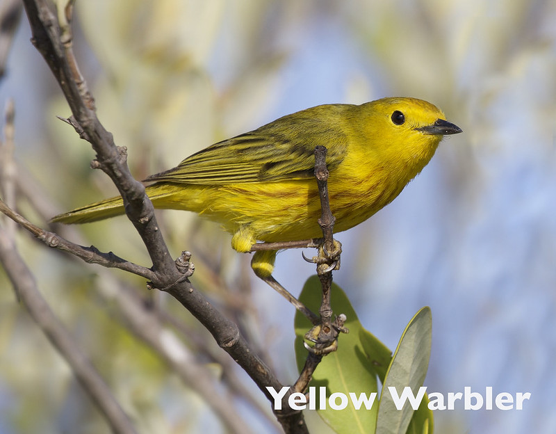 Yellow Warbler, Dendroica petechia_199A5247