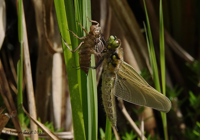 Four-spotted chaser dragonfly emerging